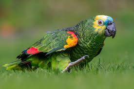 Scalea, pappagallo, amazona aestiva