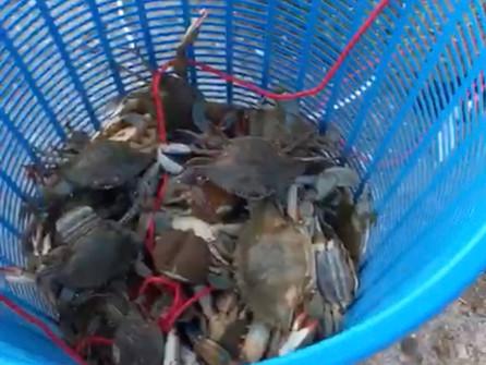 Stop alla pesca illegale di granchi nel canale degli Stombi