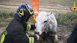 I vigili del fuoco di Scandale salvano una mucca - VIDEO