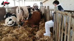 Crotone, animali macellati senza controlli sanitari, 8 misure