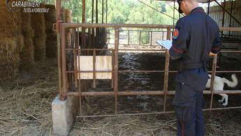 S. Domenica Talao, carenze igieniche e abusivismo: sanzioni ad una azienda zootecnica