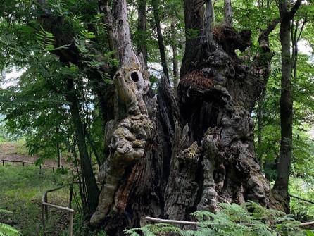 """Grisolia, il castagno alto più di 16 metri finalista a """"Tree of the year"""""""