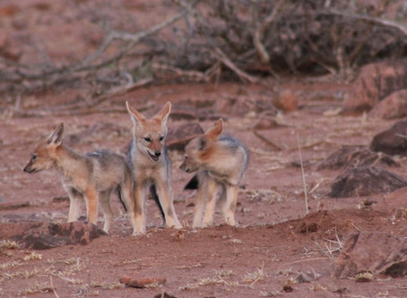 Jackal Puppies | Kruger National Park, South Africa.