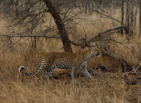 Leopard mother & cub on kill in Kruger