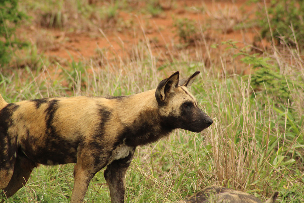 Wild Dog Kruger Park Safaris