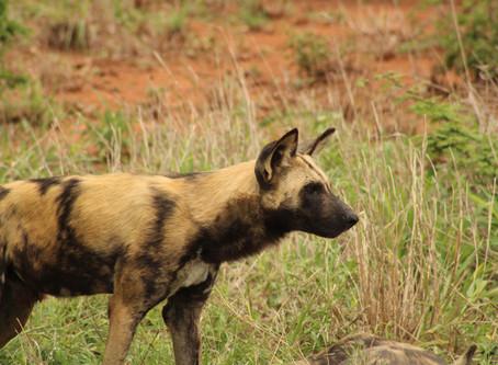 Kruger's Wild Dogs | Kruger National Park Safaris