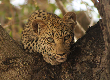 SPOTTED: Beautiful leopard cub in Jackleberry tree