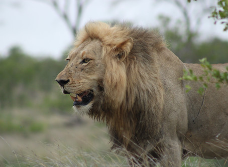 Incredible lion kill sighting | Kruger National Park | Kruger Park Safaris