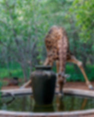 Geri-Giraffe-at-pond-Shikwari-1230.jpg