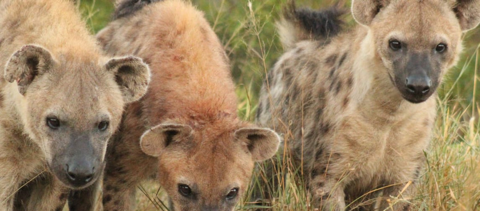 Hyenas.jpg