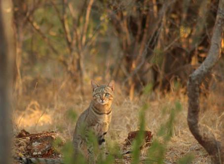 The African Wildcat | Kruger National Park Safaris | Secrets of the bush