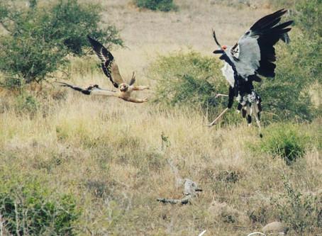 Secretary Birds | Kruger Bird Life | Shikwari Best Kruger Safaris