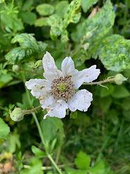 Dagley Lane Shalford white flower