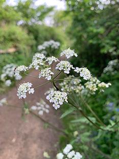 Dagley Lane Shalford cow parsley