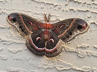 Cecropia_Moth_by_Alexander_Fast (002).JP