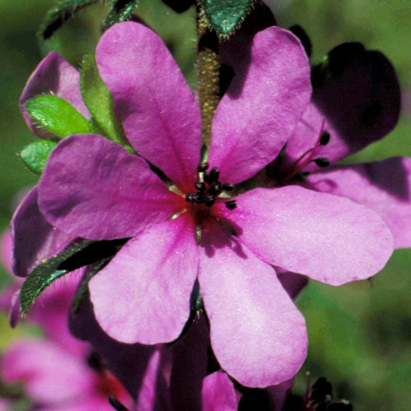 Dog Rose of the Wild Forces