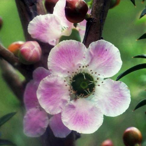 Peach Flowered Tea Tree