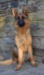dog training trained pet