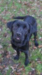 dog training trained pet dog