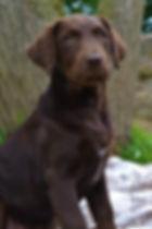 trained pet dog training labrador