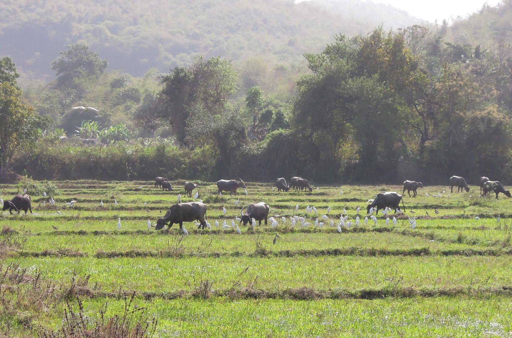 Goan rice field
