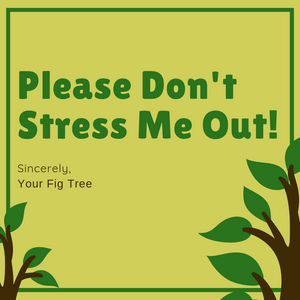 How to Water your Fiddle Leaf Fig Tree