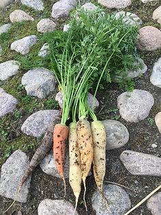 Morötter odla ekologisk