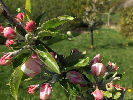 Bland äppelblom och rabarberskörd