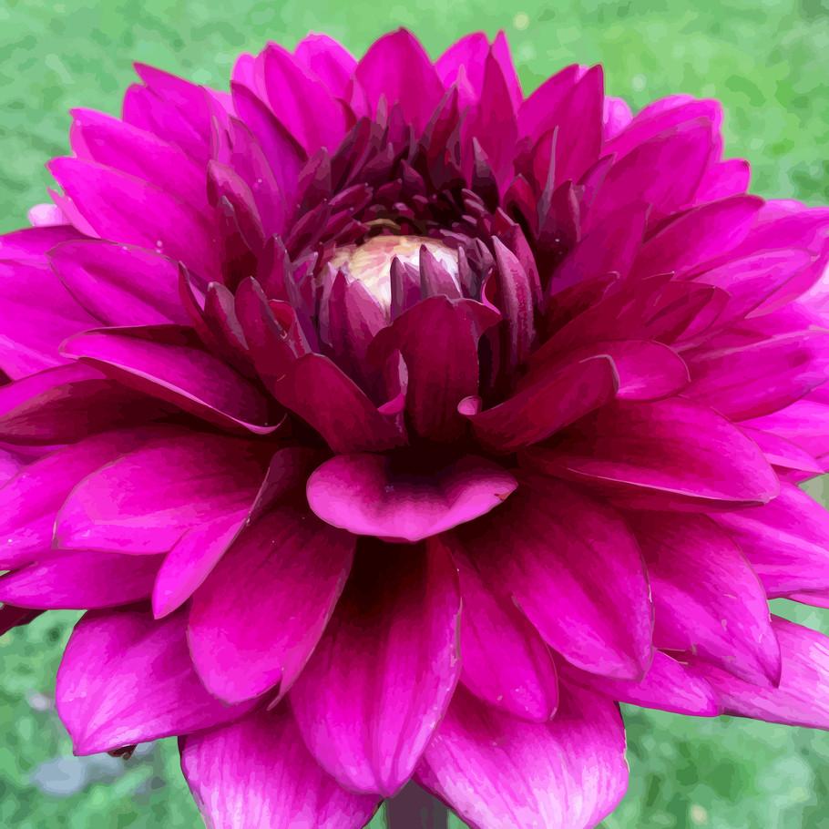 Dahlia purple II