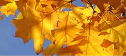 zlato listje