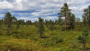 Duften av skog og multemyr.jpg