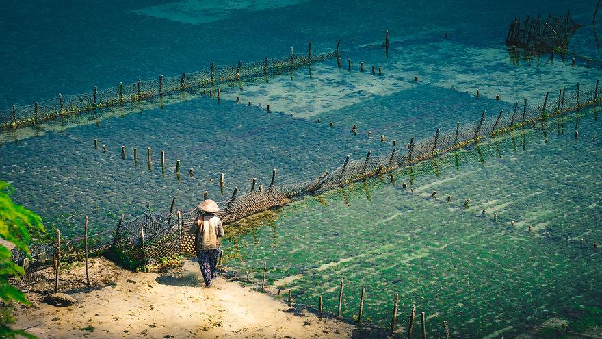people-collect-seaweed-plantations-algal
