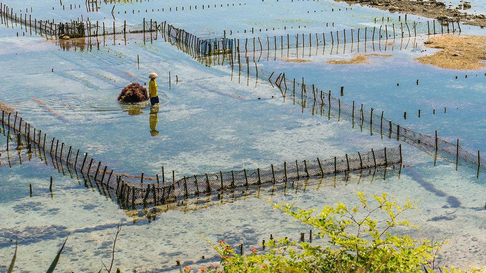 Mari Indonesia Seaweed