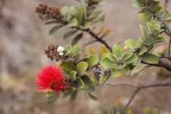 Flower in Hawaii Volcano Nat'l Park