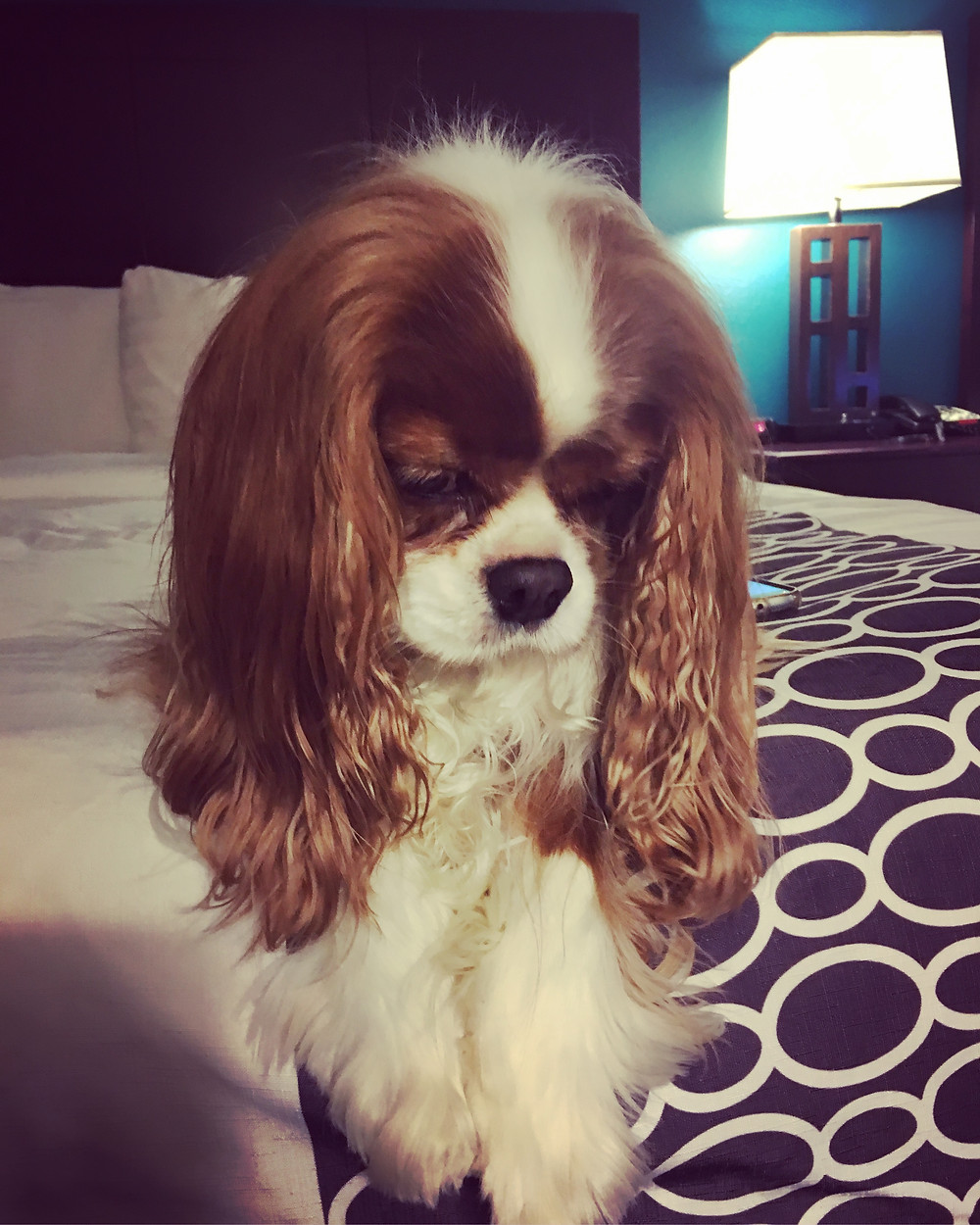 Our lovely Al, Cavalier King Charles Spaniel from Wales