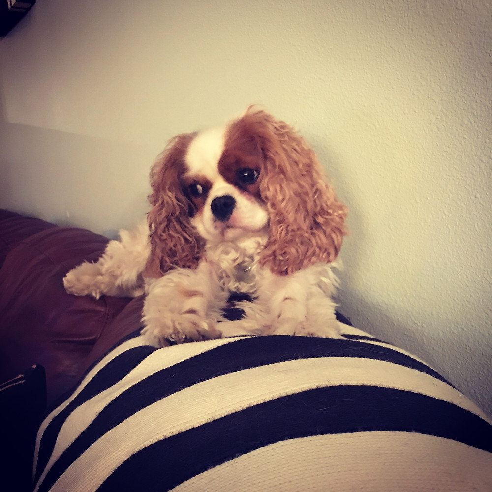 Clementine, Rescue Cavalier King Charles Spaniel
