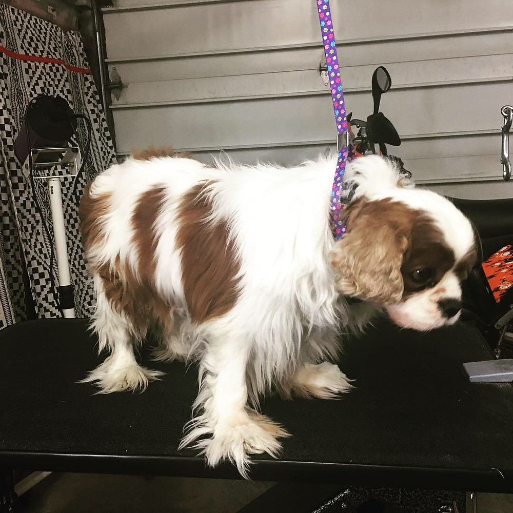 Prince before grooming, His former owners cut all the hair off his ears so they will have to grow back.  The rest of him just needed a tidying up.