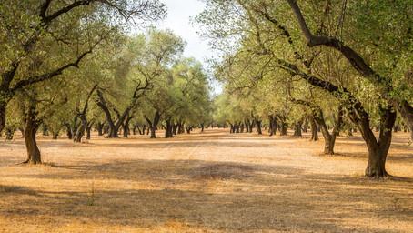 Huiles d'olive et agriculture biologique. Le choix de Chercheurs d'or vert.