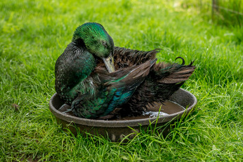 Duck in a Bowl