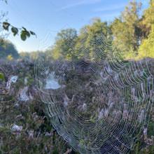 Spinnenweb op de hei.