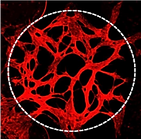 Microvasculature.png