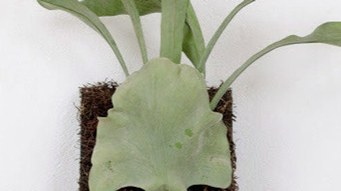 Artificial Hanging Staghorn Fern