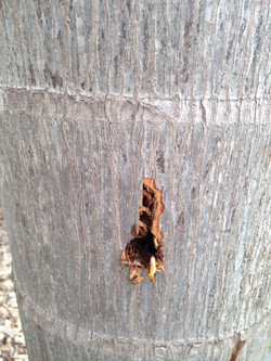 Mastoterme Soldier termite attacks after drilling hole into nest