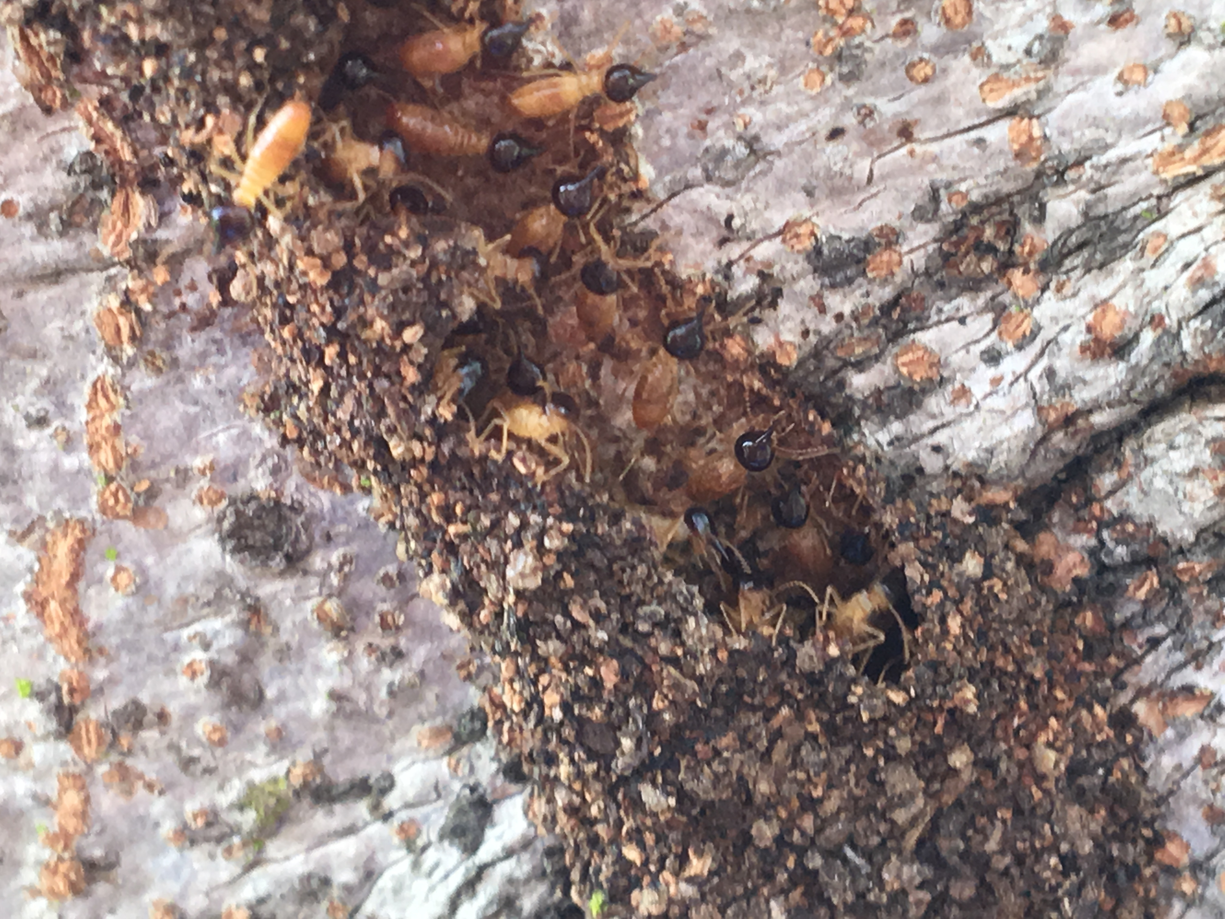Nausititerme mud lead as Soldier Termites defend colony