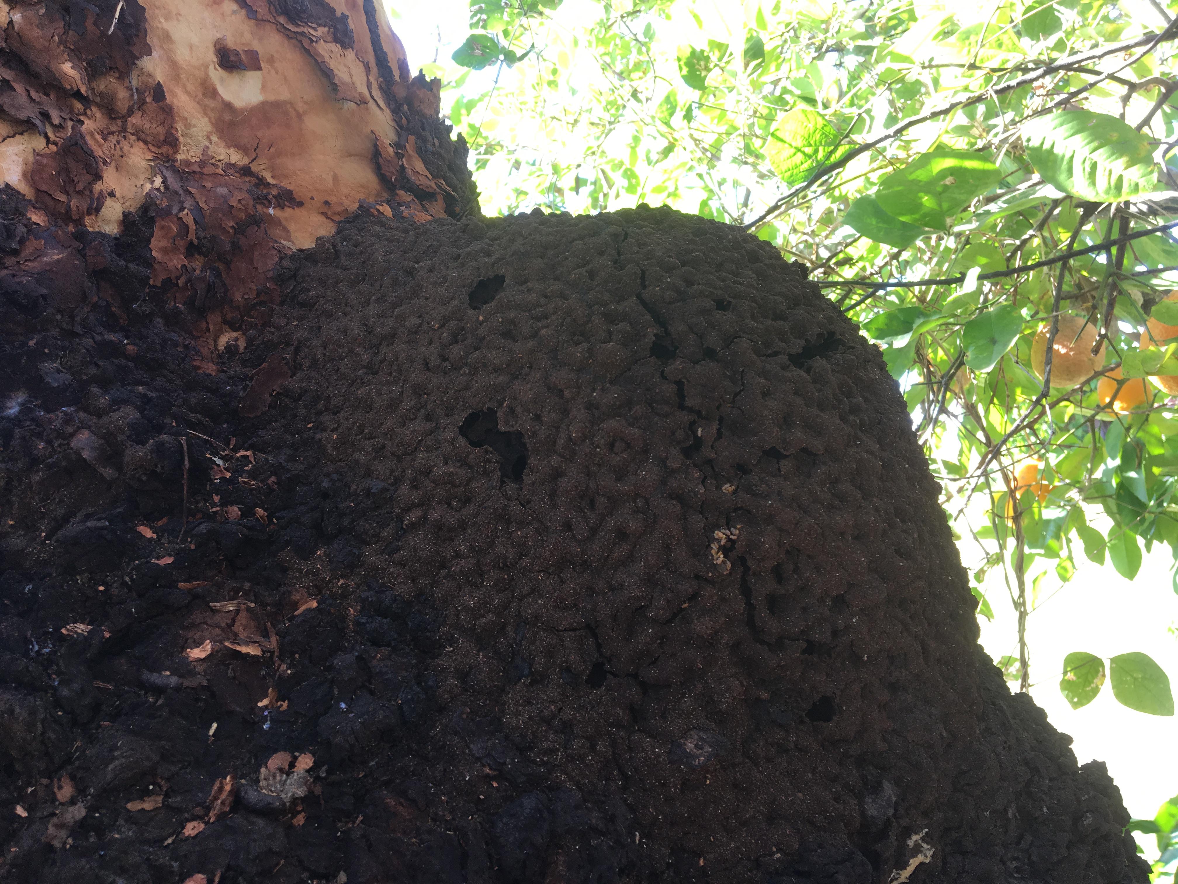 Termite nest - Nausititermes nest in a tree