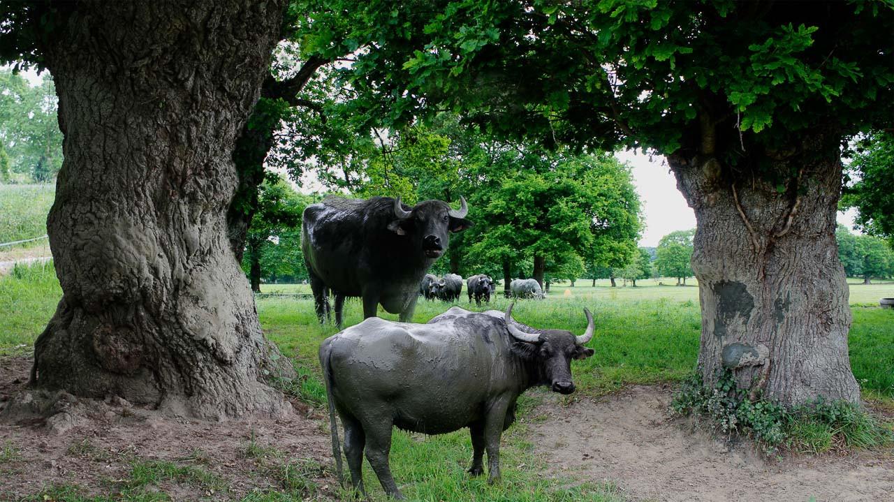 Les arbres & les bufflonnes