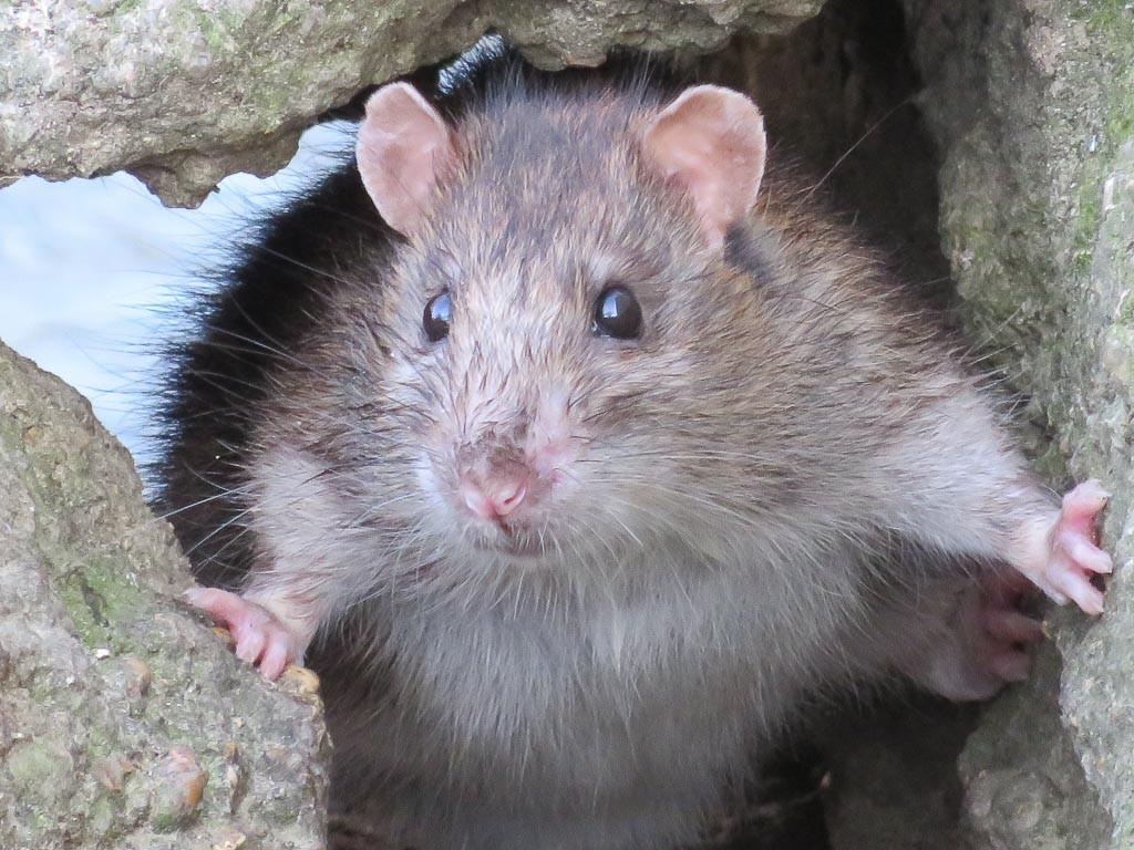 SIMON SWIFT Joelle - Rat