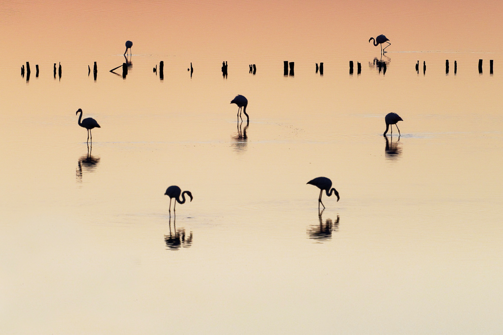 Matin Flamants
