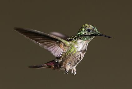 Sabourin laurent Colibri lumineux.jpg