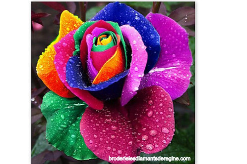 la rose multicolore